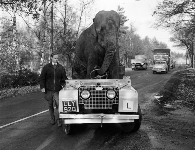 "kam-an-elephant-from-Bertram-Mills-circus-""drives""-a-Land-Rover-November-1959"